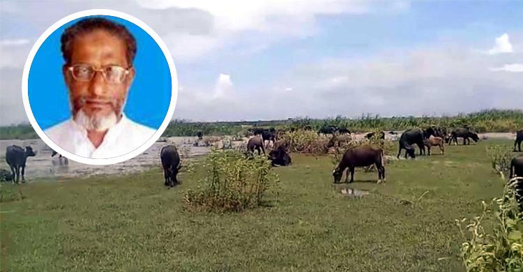 রায়পুরে আ.লীগ নেতার মহিষের দখলে কৃষকদের ১৫০ একর জমি